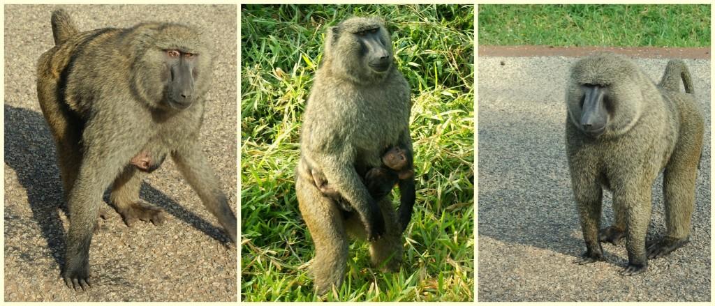 uganda-monkeys