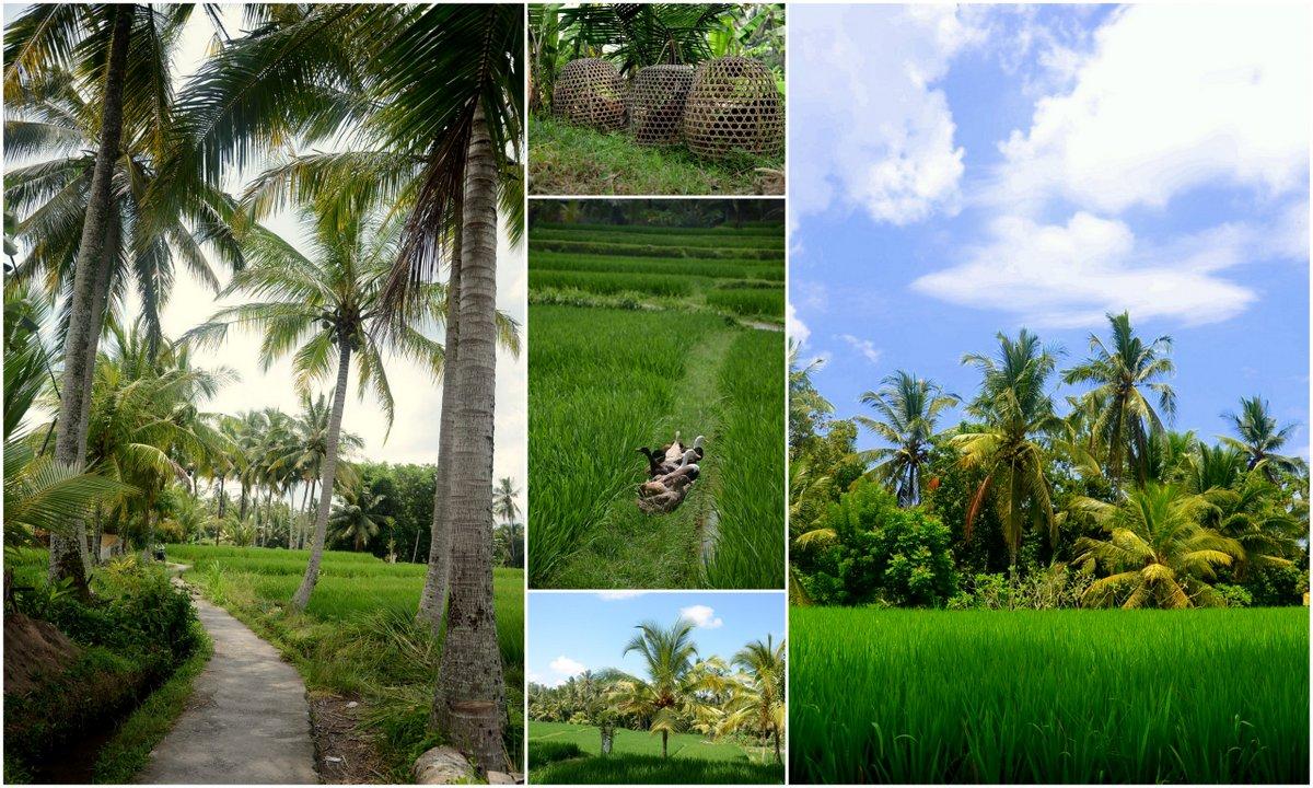 ubud rice collage