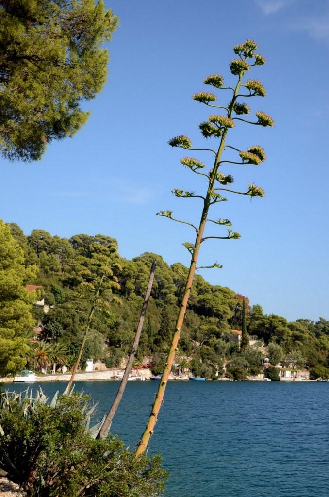 mljet agava