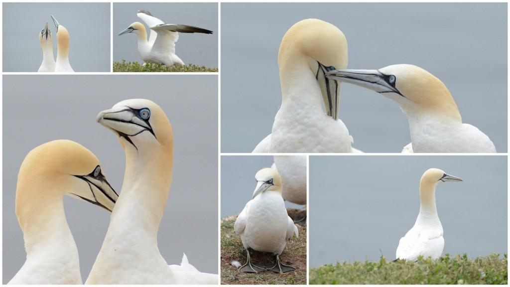 helgoland birds