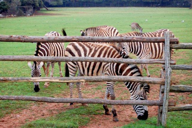 Zebra Brijuni zoo Hrvaška Croatia