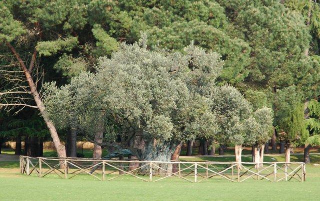 oldest plive trees in MEditerranean stara oljka Brijuni Hrvaška Croatia