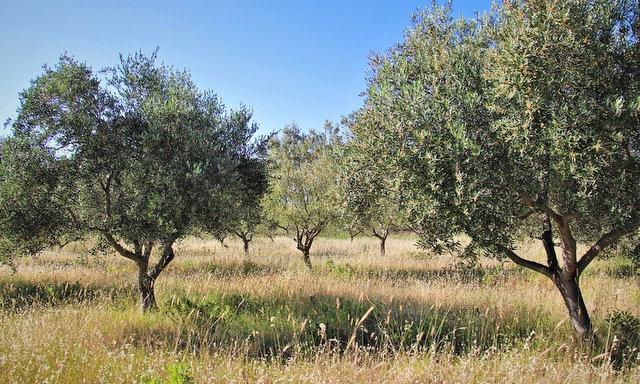 olive trees-Majorka